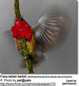 Fiery-tailed awlbill Fierytailed Awlbills Avocettula recurvirostris