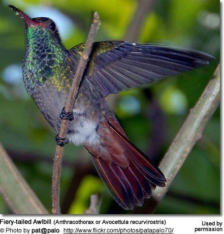 Fiery-tailed awlbill httpswwwbeautyofbirdscomimagesbirdsFieryta