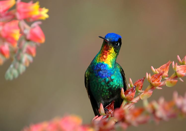 Fiery-throated hummingbird 1000 images about Beautiful Fiery Throated Hummingbird Photography