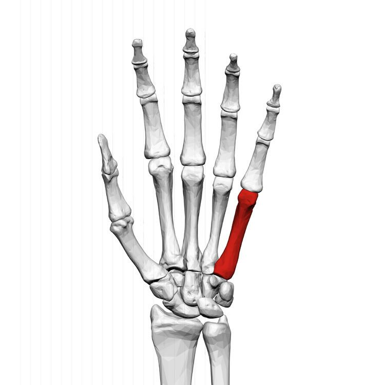 Fifth metacarpal bone