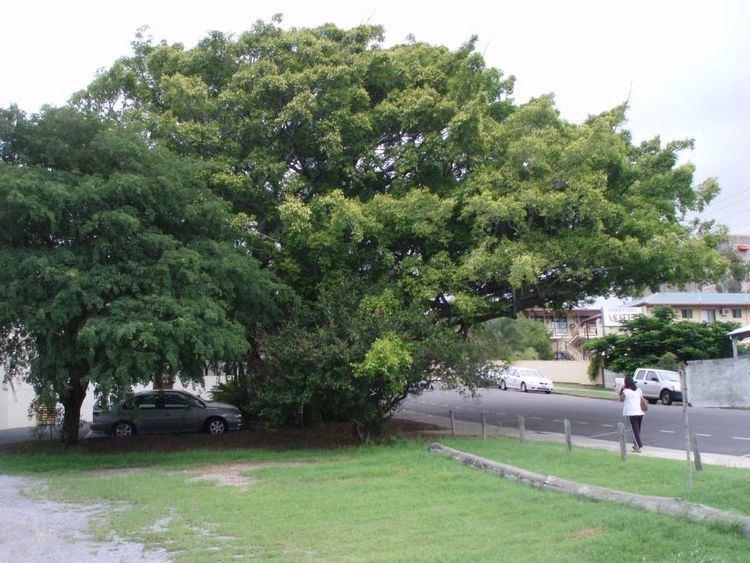 Fig Tree, Gladstone