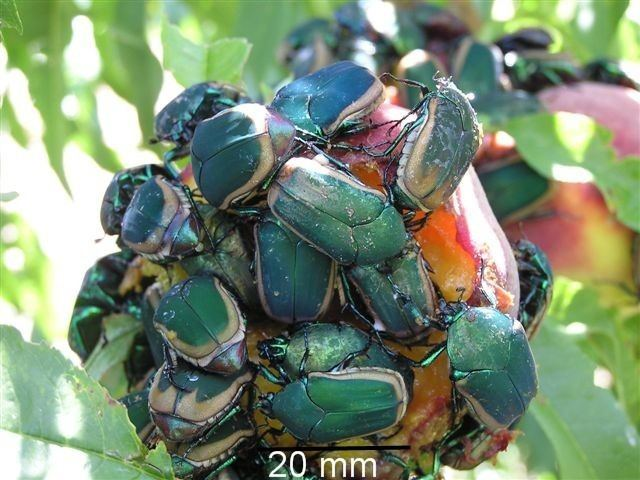 Figeater beetle Figeater Beetle Cotinis mutabilis The Firefly Forest