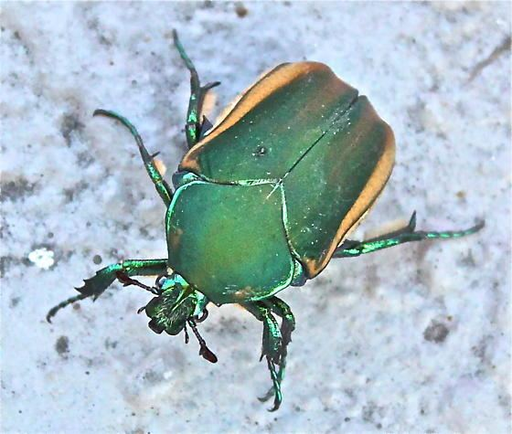 Figeater beetle bugguidenetimagescacheIRYZ0RIRYZ0RFZGR9LQZPL