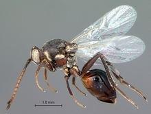 Figitidae wwwwaspweborgCynipoideaFigitidaeAspicerinaeA