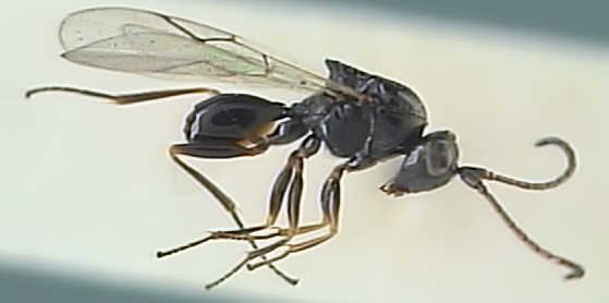 Figitidae 1