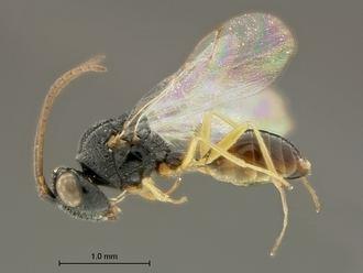Figitidae Figitidae WaspWeb