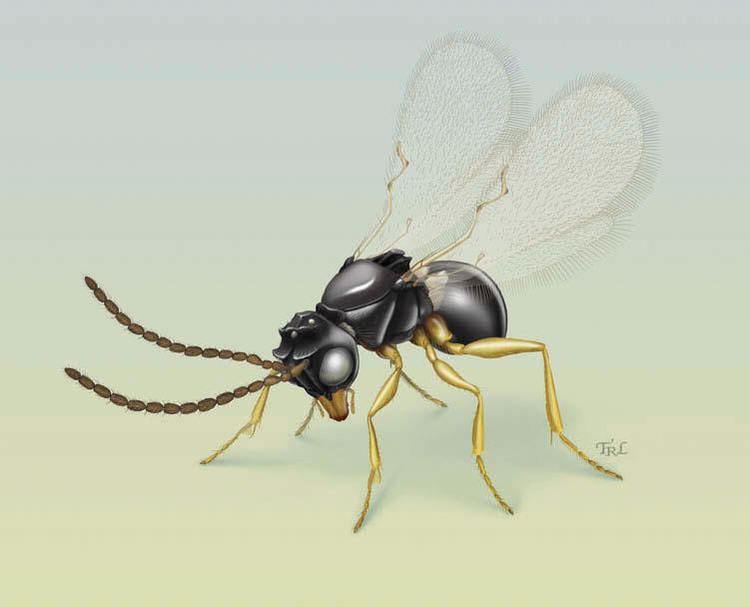 Figitidae Eucoilinae