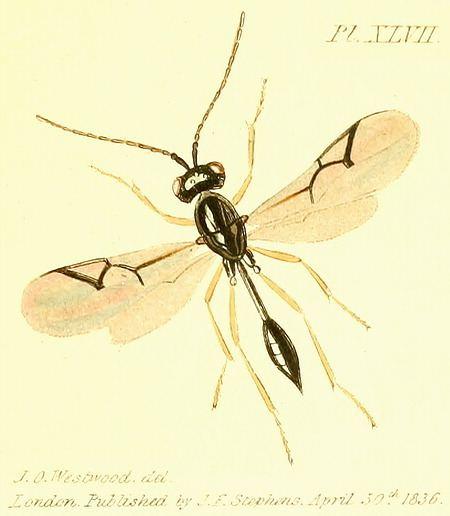 Figitidae Insects of Britain and Ireland Hymenoptera families Figitidae