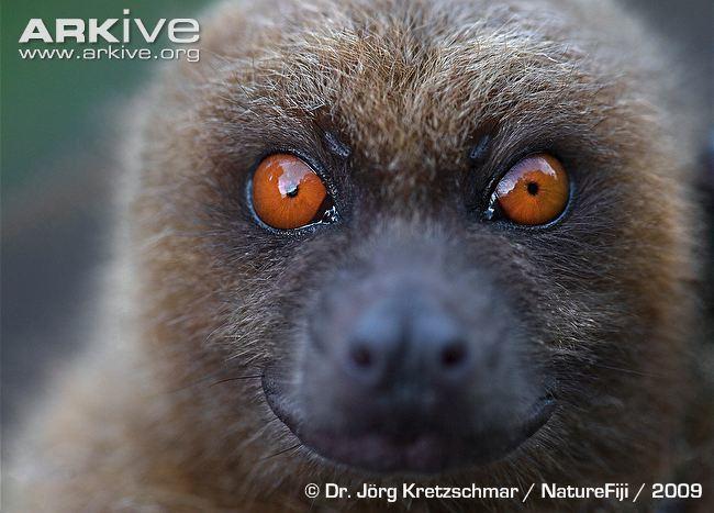 Fijian monkey-faced bat Fijian monkeyfaced bat videos photos and facts Mirimiri