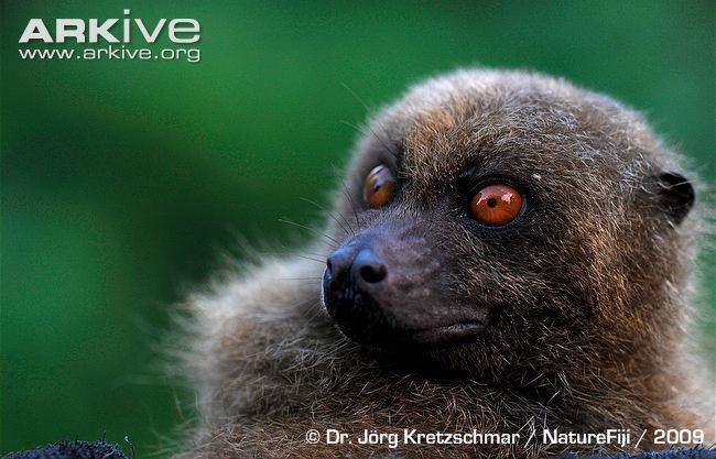 Fijian monkey-faced bat Fijian monkeyfaced bat photo Mirimiri acrodonta G93619 ARKive