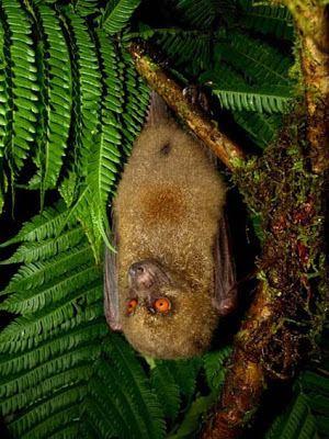 Fijian monkey-faced bat Species New to Science Mammalogy 2005 Mirimiri acrodonta