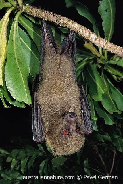 Fijian monkey-faced bat fijianmonkeyfacedbat wildlife images nature photography by