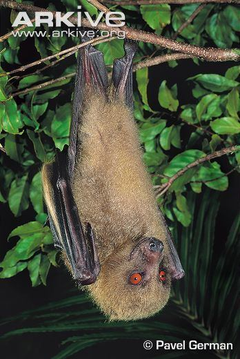 Fijian monkey-faced bat The Fijian Monkeyfaced bat is endemic to the island and is