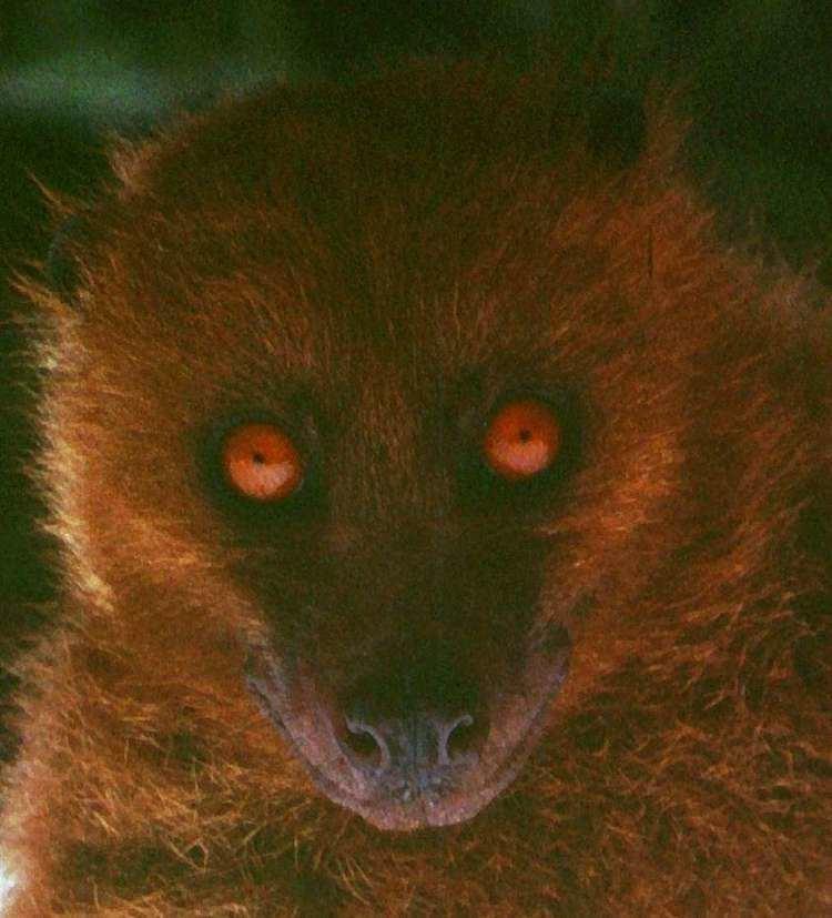 Fijian monkey-faced bat httpsuploadwikimediaorgwikipediacommonsbb
