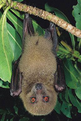 Fijian monkey-faced bat Mammals Fiji