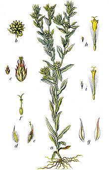 Filago vulgaris httpsuploadwikimediaorgwikipediacommonsthu