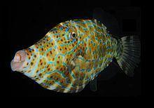 Filefish Filefish Wikipedia