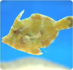 Filefish Aiptasia Eating Filefish REEF SAFE Reef Central Online Community