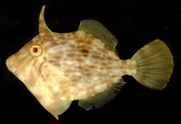 Filefish httpsuploadwikimediaorgwikipediacommons33
