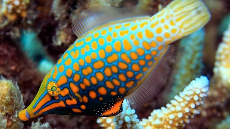 Filefish Filefish uses 39smell camouflage39 to hide from predators Science AAAS