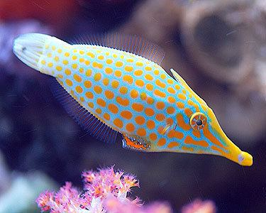 Filefish Orangespotted Filefish Aquarium Hobbyist Social Networking