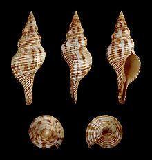 Filifusus filamentosus httpsuploadwikimediaorgwikipediacommonsthu