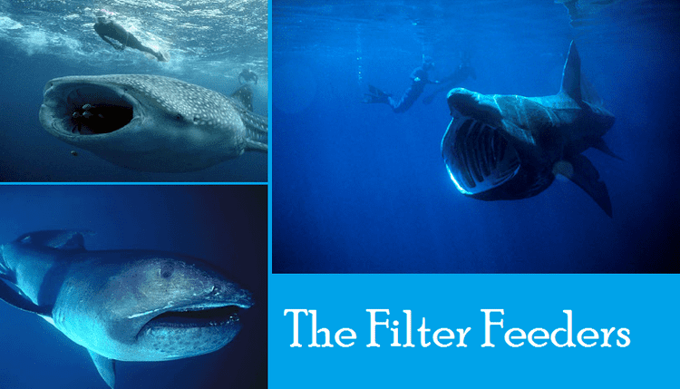 Filter feeder The Travels of BlueMenpachi Shark Week The Filter Feeders