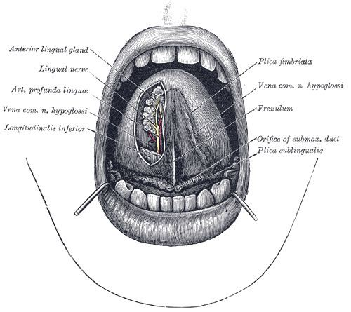 Fimbriated fold of tongue