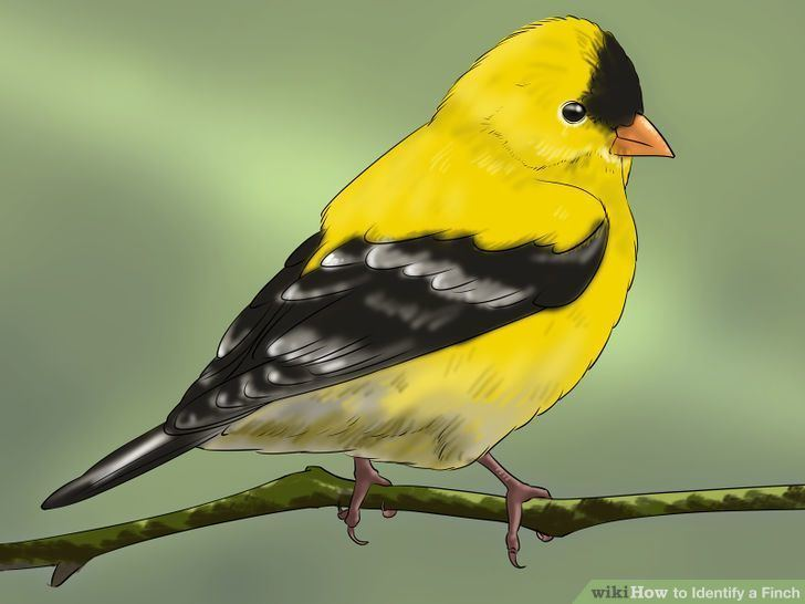 Finch How to Identify a Finch 7 Steps with Pictures wikiHow