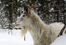 Finnish Landrace goat httpsuploadwikimediaorgwikipediacommonsthu