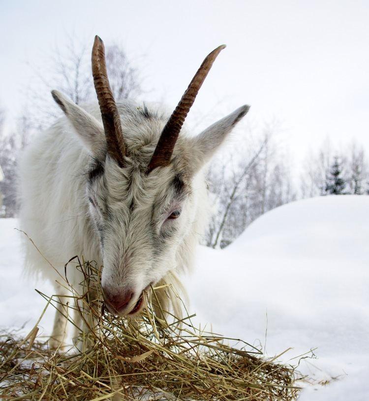 Finnish Landrace goat Finnish landrace goat cbei