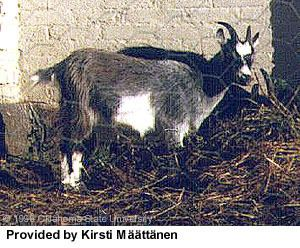 Finnish Landrace goat Breeds of Livestock Finnish Landrace Goats Breeds of Livestock