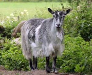Finnish Landrace goat Description Finnish Landrace breed goats photos description of
