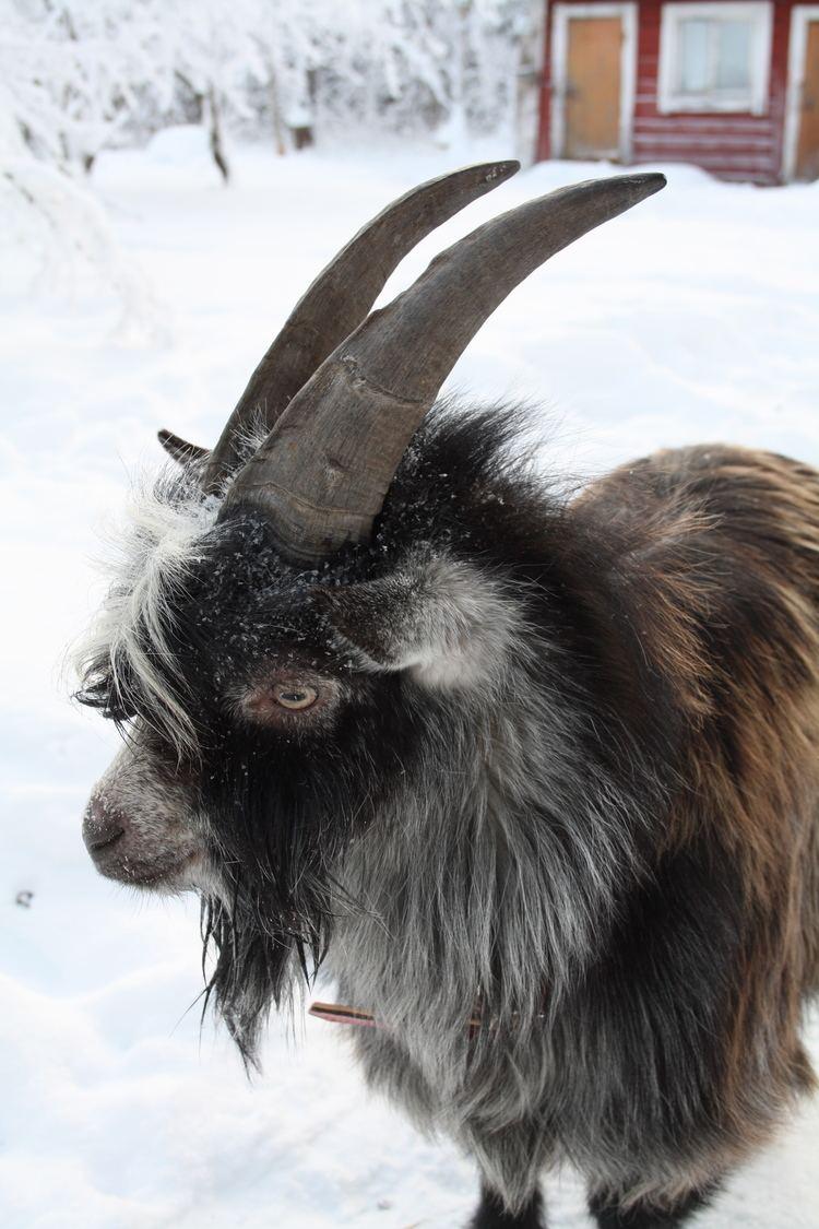Finnish Landrace goat FileFinnish Landrace goat greyjpg Wikimedia Commons