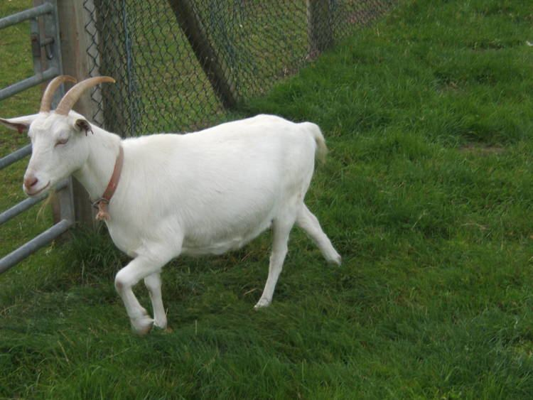 Finnish Landrace goat Finnish Landrace Goat ZooChat