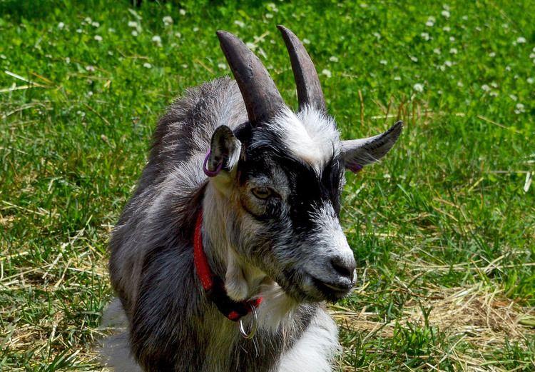 Finnish Landrace goat Suomenvuohi Finnish Landrace goat Finngoat Larissa Datsha Flickr