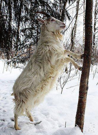 Finnish Landrace goat Finnish Landrace goat PetMapz
