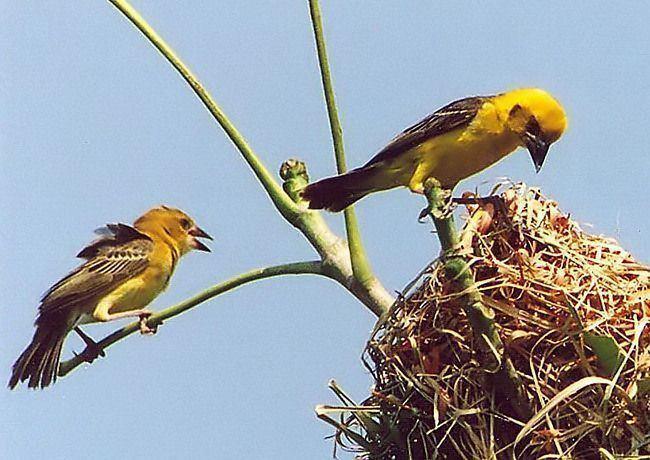 Finn's weaver Oriental Bird Club Image Database Finn39s Weaver Ploceus megarhynchus