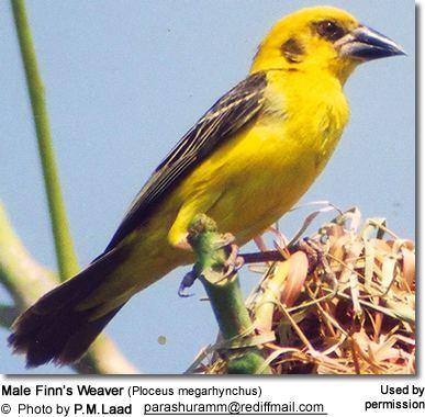 Finn's weaver httpswwwbeautyofbirdscomimagesbirdsFinnsWe