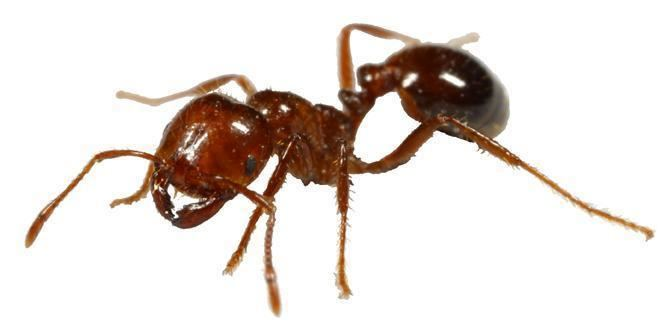 Fire ant Fire Ants
