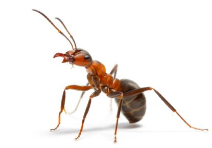 Fire ant Fire Ant Services