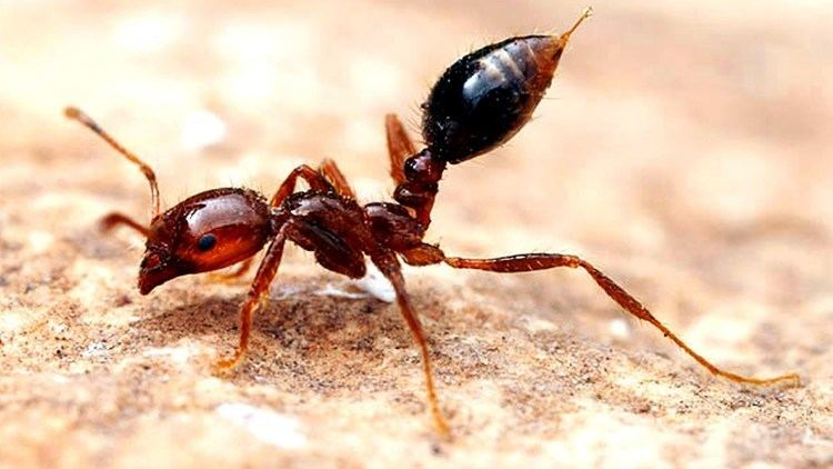 Fire ant Why Fire Ants are Amazing YouTube