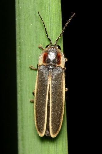 Firefly Lampyridae Biodiversity in Focus Blog