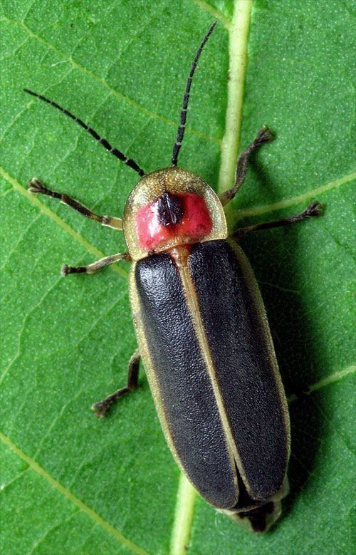 Firefly Fourth of July FireFlyWorks Fireflies amp Lightningbugs Lampyridae