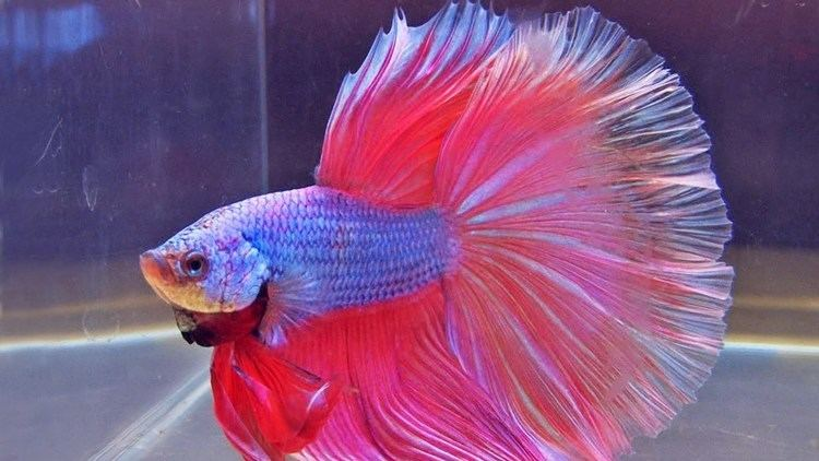 Fish The International Betta Competition magnificent fighting fish on