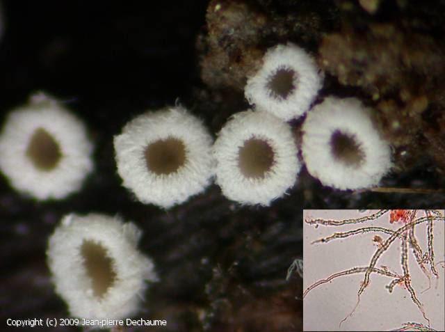 Flagelloscypha MycoDB Fiche de Flagelloscypha minutissima