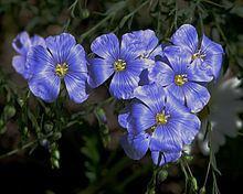 Flax httpsuploadwikimediaorgwikipediacommonsthu