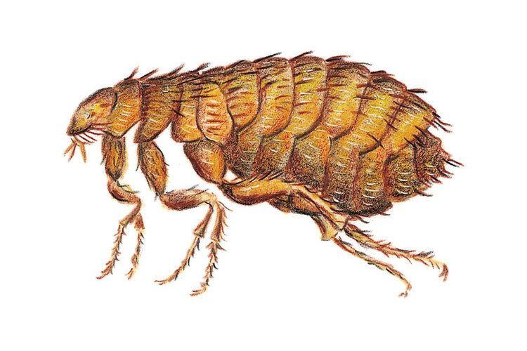 Flea About Fleas Fleabusters