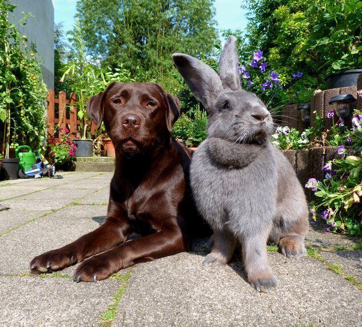 Flemish Giant Rabbit Alchetron The Free Social Encyclopedia