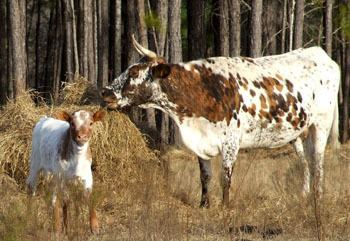 Florida Cracker cattle httpslivestockconservancyorgimagesuploadsab